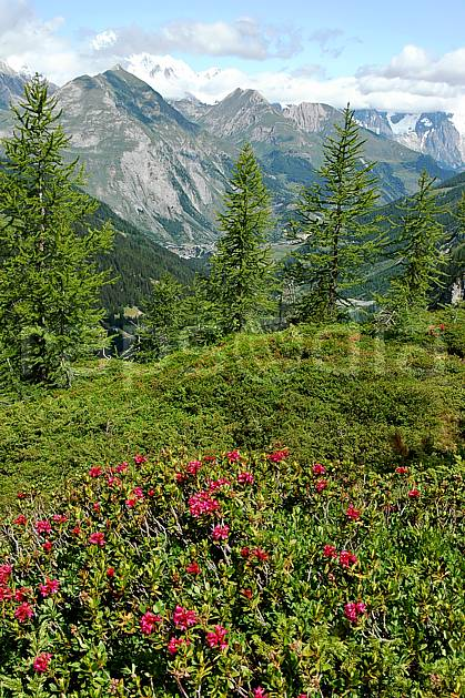 aa041257LE royalty free rhododendrons, alpes, Europe, EEC, flower, Annecy 2018, tree, flora, middle mountain, landscape (France).