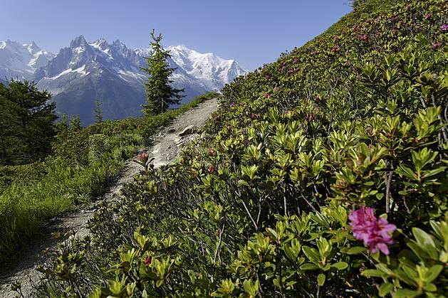 aa071458LE : Sentier du balcon sud et rhododendrons, massif du Mont Blanc, Aiguilles Rouges, Chamonix, Alpes.  Europe, CEE, fleur, C02 Annecy 2018, arbre, flore, moyenne montagne, paysage (France).