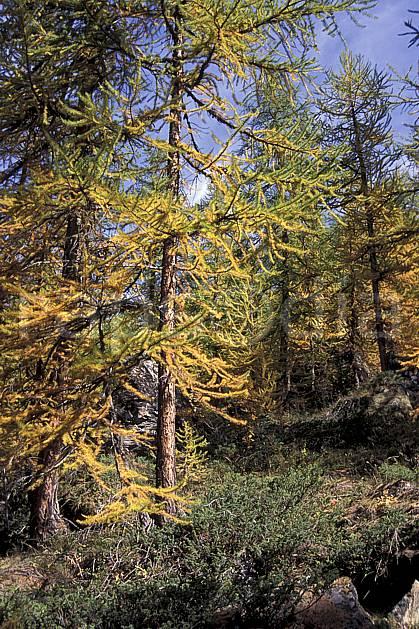 aa0845-01LE : Mélèze, Alpes.  Europe, CEE, mélèze, C02, C01 arbre, moyenne montagne, paysage (France).