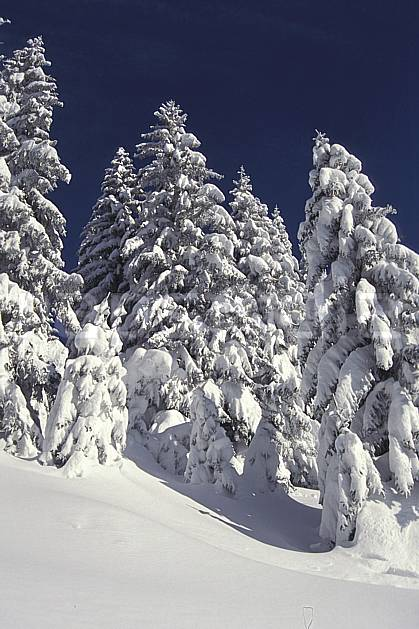 aa1082-04LE : Haute-Savoie, Alpes.  Europe, CEE, ciel bleu, sapin, C02, C01 arbre, forêt, gros plan, moyenne montagne, paysage, Annecy 2018 (France).