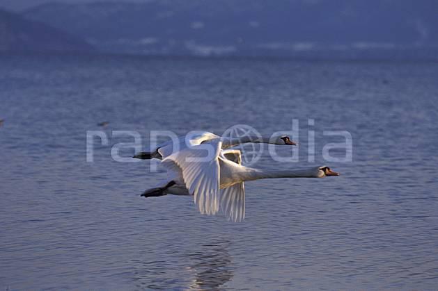 ac0097-35LE : Cygnes en vol au dessus du Lac d'Annecy, Haute-Savoie, Alpes.  Europe, CEE, cygne, voler, C02, C01 couple, faune, lac, Annecy 2018 (France).