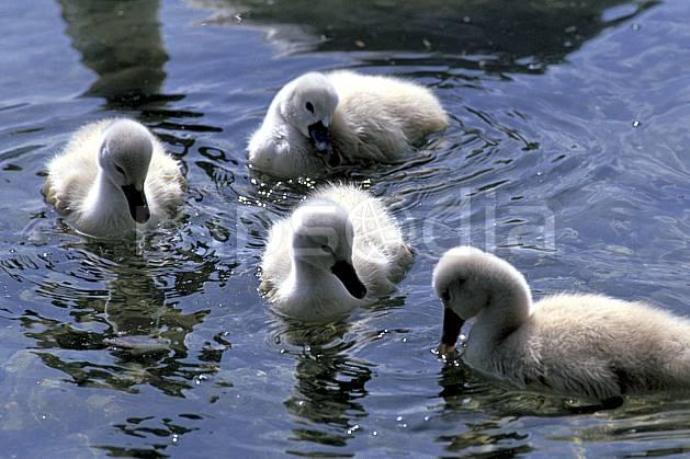 ac0275-29LE : Jeunes cygnes, Lac d'Annecy, Haute-Savoie.  Europe, CEE, cygne, bébé, oiseau, C02, C01 enfant, faune, lac, Annecy 2018 (France).