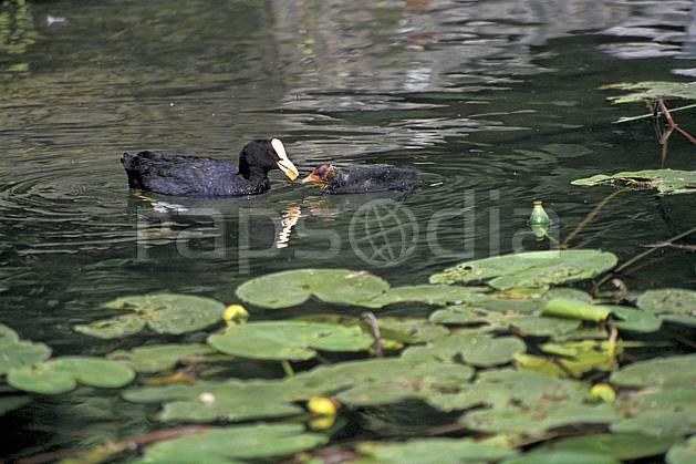 ac0296-06LE : Poule d'eau et son jeune dans les nénuphars, Lac d'Annecy, Haute-Savoie.  Europe, CEE, canard, nénuphar, C02, C01 Annecy 2018, faune, flore, lac (France).