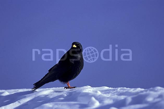 ac0386-12LE : Chocard, Haute-Savoie, Alpes.  Europe, CEE, ciel bleu, oiseau, C02, C01 faune, moyenne montagne, Annecy 2018 (France).