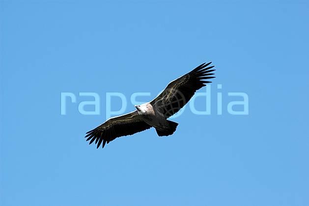 ac042167LE : Vautour dans le Verdon, Var.  Europe, CEE, vautour, oiseau, voler, C02, C01 faune, moyenne montagne (France).