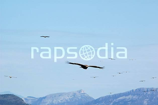 ac042171LE : Vautours dans le Verdon, Var.  Europe, CEE, vautour, oiseau, voler, C02, C01 faune, moyenne montagne (France).