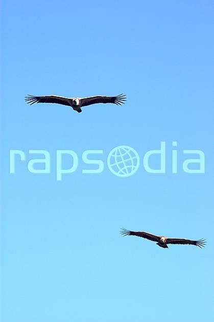 ac042177LE : Vautours dans le Verdon, Var.  Europe, CEE, vautour, oiseau, voler, C02, C01 faune, moyenne montagne (France).