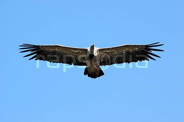 ac042181LE : Vautour dans le Verdon, Var.  Europe, CEE, vautour, oiseau, voler, C02, C01 faune, moyenne montagne (France).