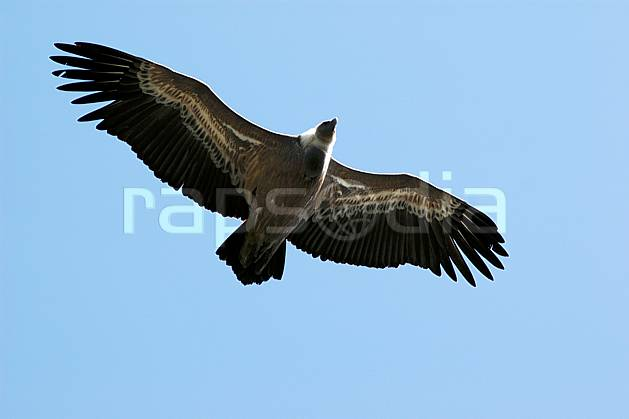 ac042184LE : Vautour dans le Verdon, Var.  Europe, CEE, vautour, oiseau, voler, C02, C01 faune, moyenne montagne (France).