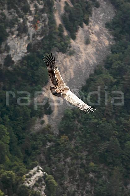 ac042186LE : Vautour dans le Verdon, Var.  Europe, CEE, vautour, voler, oiseau, C02, C01 faune, moyenne montagne (France).