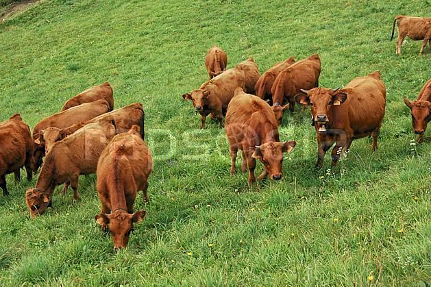 ac042734LE : Troupeau de vaches dans le Beaufortain, Savoie, Alpes.  Europe, CEE, alpage, vache, troupeau, herbe, C02, C01 faune, moyenne montagne, paysage (France).
