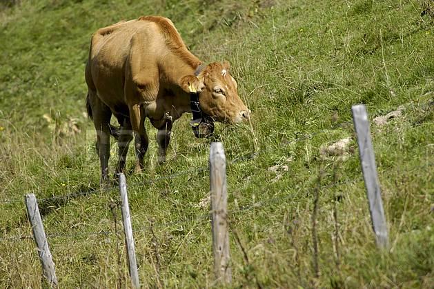 ac055735LE : Vache en alpage, Alpes.  Europe, cloche, champ, alpage, champ, C02, C01 faune, moyenne montagne (Suisse).