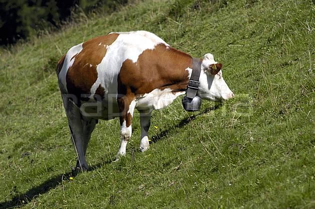 ac055736LE : Vache en alpage, Alpes.  Europe, cloche, champ, alpage, C02, C01 faune, moyenne montagne (Suisse).