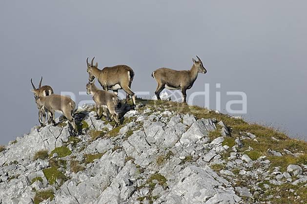 ac055762LE : Bouquetins, Videmanette, Alpes.  Europe, bouquetin, sommet, C02, C01 faune, moyenne montagne, nuage, paysage (Suisse).