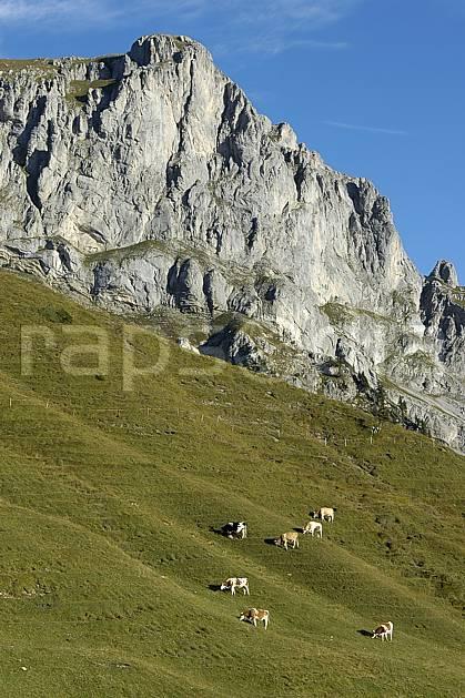 ac055778LE : Vaches en alpage, Videmanette, Alpes.  Europe, vache, falaise, alpage, C02, C01 faune, moyenne montagne, paysage (Suisse).