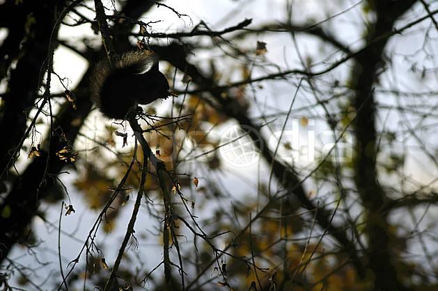 ac055897LE : Ecureuil.  Europe, CEE, écureuil, contrejour, branche, C02, C01 arbre, faune, forêt, moyenne montagne (France).
