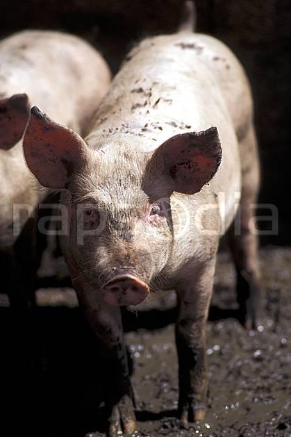 ac0584-31LE : Cochon.  Europe, CEE, cochon, ferme, campagne, C02, C01 faune (France).