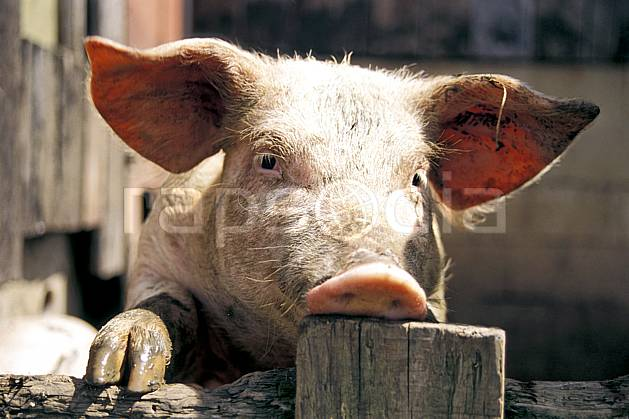 ac0584-34LE : Cochon.  Europe, CEE, ferme, campagne, cochon, C02, C01 faune, gros plan, portrait (France).