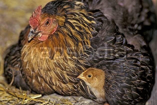 ac0585-02LE : Poule et poussin.  Europe, CEE, basse cour, poule, poussin, ferme, campagne, C02, C01 faune (France).
