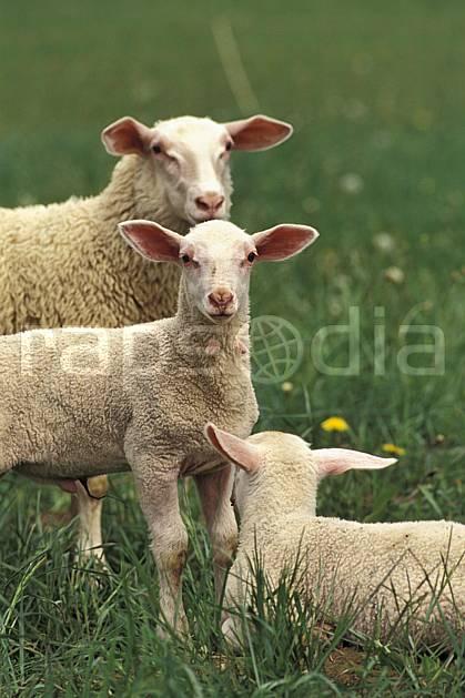 ac0585-13LE : Brebis et ses agneaux.  Europe, CEE, mouton, champ, ferme, campagne, C02, C01 faune (France).