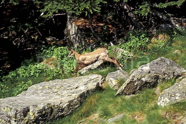 ac0603-15LE : Chamois, Grand Paradis, Alpes.  Europe, CEE, chamois, herbe, C02, C01 faune, moyenne montagne, saut (Italie).