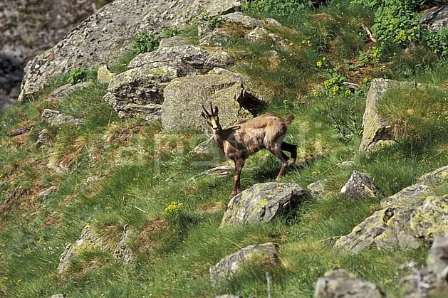 ac0603-16LE : Chamois, Grand Paradis, Alpes.  Europe, CEE, chamois, herbe, C02, C01 faune, moyenne montagne (Italie).