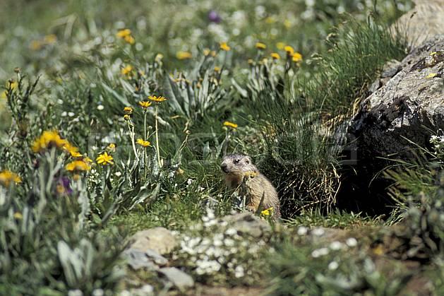 ac0604-04LE : Marmotte, Grand Paradis, Alpes.  Europe, CEE, fleur, herbe, marmotte, C02, C01 faune, flore, moyenne montagne (Italie).