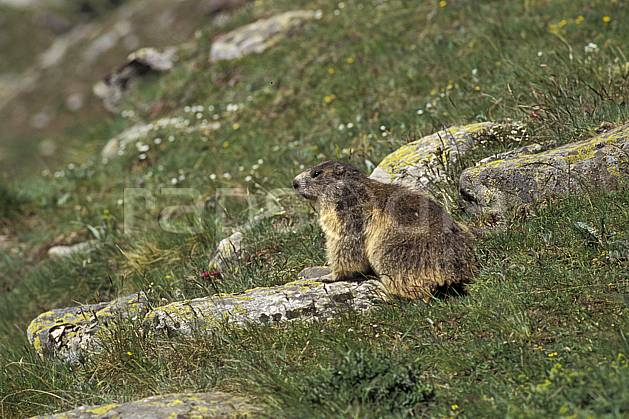 ac0604-19LE : Marmotte, Grand Paradis, Alpes.  Europe, CEE, herbe, marmotte, C02, C01 faune, moyenne montagne (Italie).