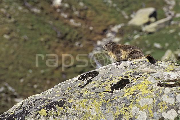 ac0604-24LE : Marmotte, Grand Paradis, Alpes.  Europe, CEE, marmotte, C02, C01 faune, moyenne montagne (Italie).