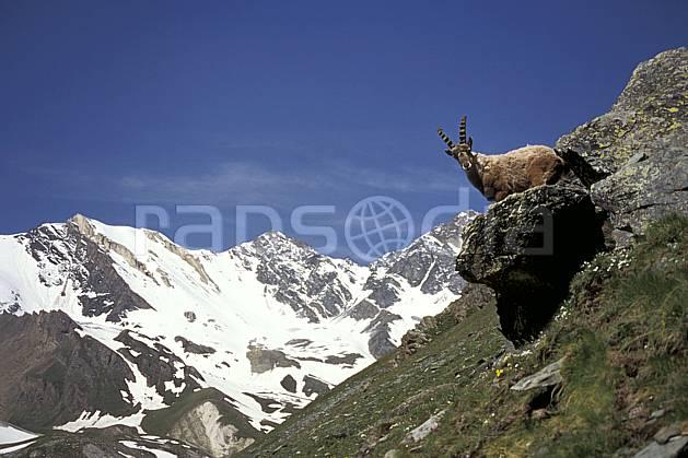 ac0605-04LE : Bouquetin, Grand Paradis, Alpes.  Europe, CEE, bouquetin, ciel bleu, corne, C02, C01 faune, moyenne montagne, paysage (Italie).