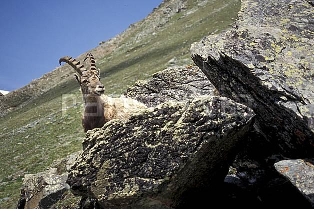 ac0605-07LE : Bouquetin, Grand Paradis, Alpes.  Europe, CEE, bouquetin, ciel bleu, corne, C02, C01 faune, gros plan, moyenne montagne (Italie).