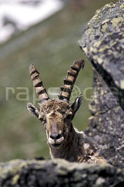 ac0605-16LE : Bouquetin, Grand Paradis, Alpes.  Europe, CEE, bouquetin, corne, C02, C01 faune, gros plan, moyenne montagne, portrait (Italie).