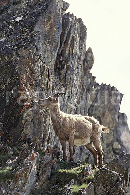 ac0605-38LE : Bouquetin, Grand Paradis, Alpes.  Europe, CEE, bouquetin, falaise, C02, C01 faune, moyenne montagne (Italie).