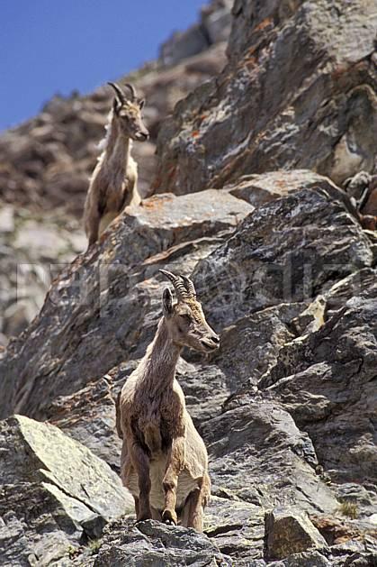 ac0606-13LE : Bouquetins, Grand Paradis, Alpes.  Europe, CEE, bouquetin, ciel bleu, corne, falaise, C02, C01 faune, groupe, moyenne montagne (Italie).