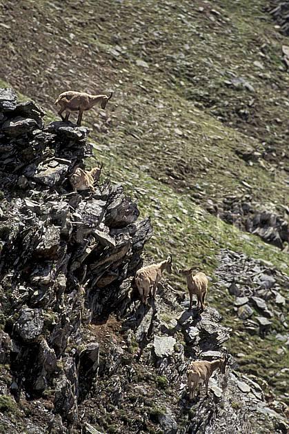 ac0606-18LE : Bouquetins, Grand Paradis, Alpes.  Europe, CEE, bouquetin, falaise, troupeau, C02, C01 faune, groupe, moyenne montagne, paysage (Italie).