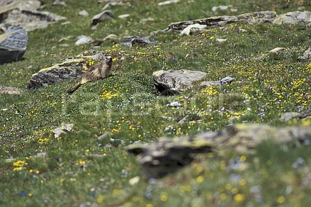 ac0606-19LE : Marmotte, Grand Paradis, Alpes.  Europe, CEE, fleur, herbe, marmotte, C02, C01 faune, flore, moyenne montagne (Italie).