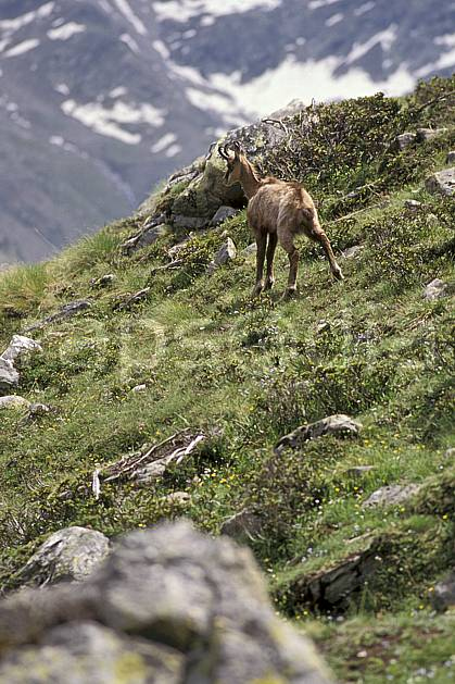 ac0606-38LE : Chamois, Grand Paradis, Alpes.  Europe, CEE, chamois, herbe, C02, C01 faune, moyenne montagne (Italie).