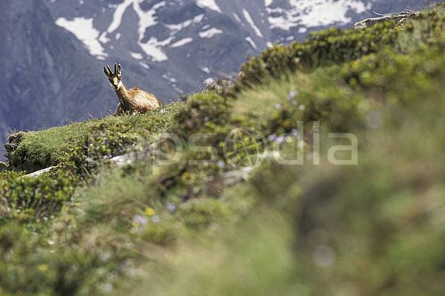 ac0607-03LE : Chamois, Grand Paradis, Alpes.  Europe, CEE, chamois, herbe, C02, C01 faune, moyenne montagne (Italie).