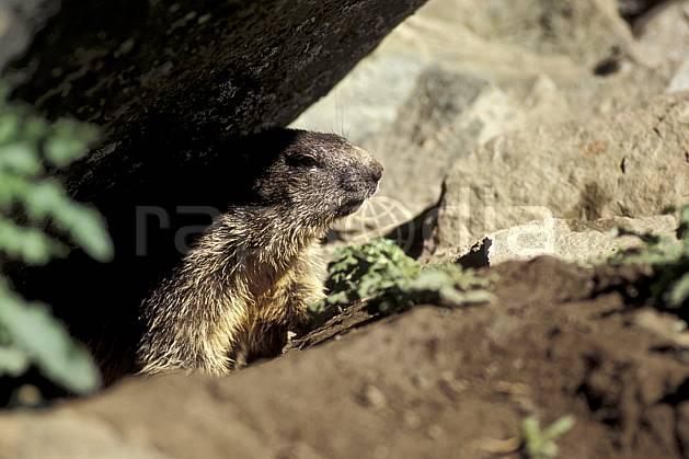 ac0610-09LE : Marmotte, Grand Paradis, Alpes.  Europe, CEE, marmotte, C02, C01 faune, gros plan, moyenne montagne, portrait (Italie).