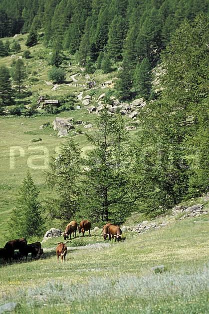 ac0610-20LE : Grand Paradis, Alpes.  Europe, CEE, herbe, vache, alpage, troupeau, C02, C01 faune, groupe, moyenne montagne (Italie).