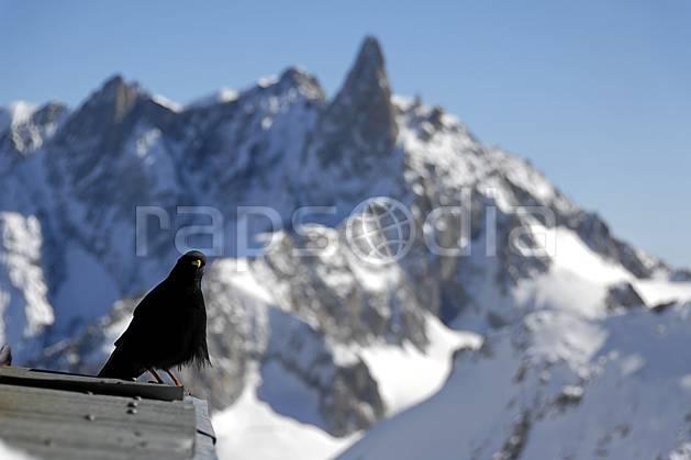 ac063620LE : Chocard et Dent du Géant, Haute-Savoie, Alpes.  Europe, CEE, oiseau, noir, C02, C01 faune, moyenne montagne, paysage, Annecy 2018 (France).