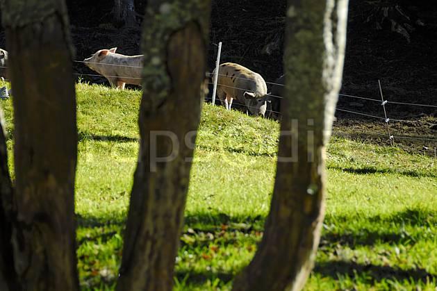 ac063637LE : Les cochons sont dans la plaine.  Europe, CEE, cochon, tronc, C02, C01 arbre, faune, moyenne montagne (France).