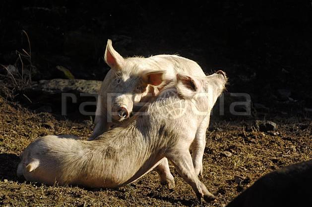 ac063642LE : Calins cochons ?.  Europe, CEE, cochon, C02, C01 faune, moyenne montagne (France).