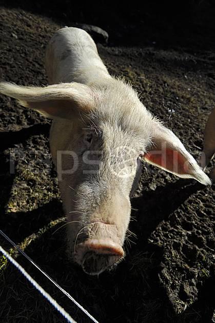 ac063650LE : Tête de cochon ?.  Europe, CEE, cochon, C02, C01 faune, gros plan, moyenne montagne, portrait (France).