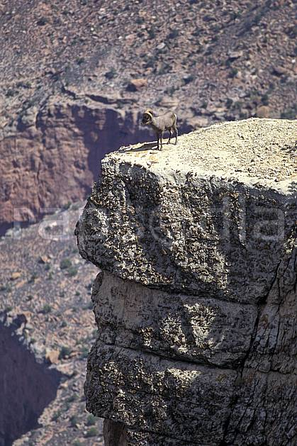 ac0648-11LE : Bighorn (mouflon), Grand canyon.  Amérique du nord, mouflon, corne, mouflon, falaise, C02, C01 faune, moyenne montagne (Usa).