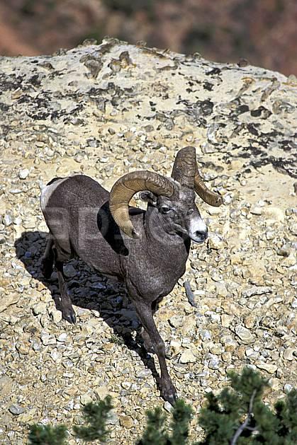 ac0648-16LE : Bighorn (mouflon), Grand canyon.  Amérique du nord, mouflon, corne, mouflon, C02, C01 faune, moyenne montagne, gros plan, portrait (Usa).