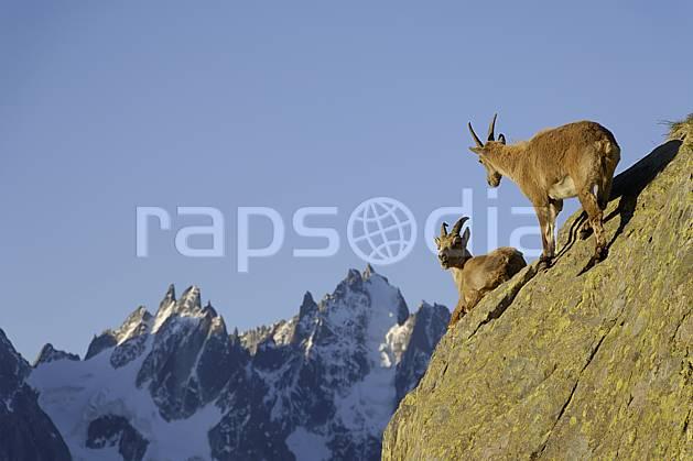 ac071399LE : Jeunes bouquetins et Aiguilles de Chamonix, Massif des Aiguilles Rouges, Alpes.  Europe, CEE, bouquetin, falaise, aurore, coucher de soleil, corne, C02 faune, moyenne montagne, paysage (France).