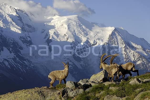 ac071419LE : Bouquetins mâles et massif du Mont Blanc, Aiguilles Rouges, Chamonix, Alpes.  Europe, CEE, bouquetin, aurore, coucher de soleil, corne, glacier, C02 faune, moyenne montagne, paysage (France).