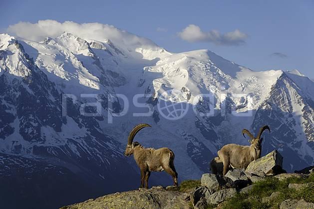 ac071425LE : Bouquetins mâles et massif du Mont Blanc, Aiguilles Rouges, Chamonix, Alpes.  Europe, CEE, aurore, coucher de soleil, corne, glacier, C02 faune, moyenne montagne, paysage (France).