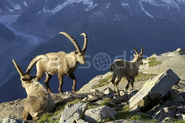 ac071437LE : Bouquetins mâles et Mer de Glace, Aiguilles Rouges, Chamonix, Alpes.  Europe, CEE, bouquetin, glacier, aurore, coucher de soleil, corne, C02 faune, moyenne montagne, paysage (France).